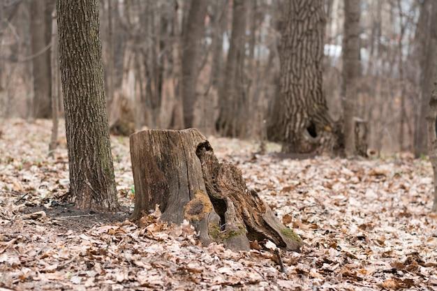 Het concept van eenzaamheid, moedeloosheid en vernietiging. rotte verwoeste stomp in de herfst bos tussen de bomen