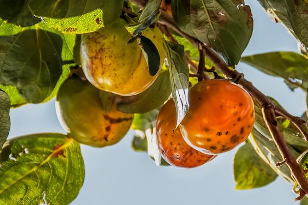 Het dadelpruimfruit rijpt op een boomtak
