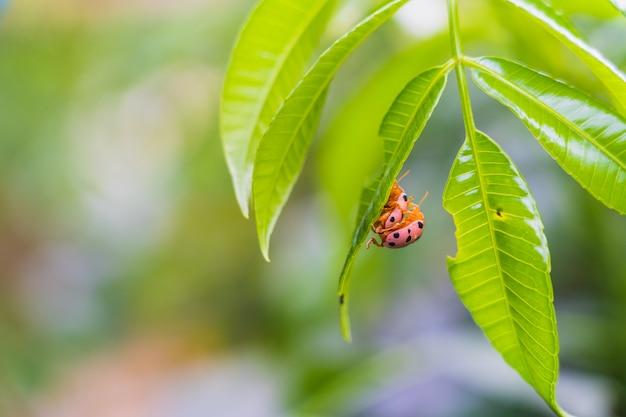 Het dameinsectpaar maakte liefde op het verse groene blad met onscherpe achtergrond