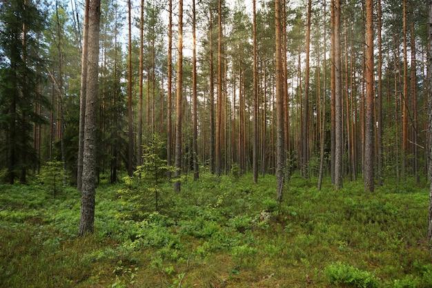 Het dennenbos, de stralen van de zon dringen tussen takken door