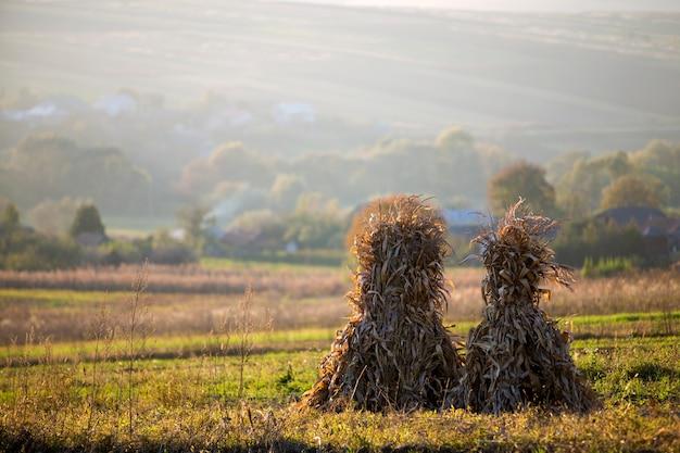Het droge graan besluipt gouden schoven op leeg grasrijk gebied na oogst op mistige heuvels en wolkenloze blauwe hemel exemplaarruimte