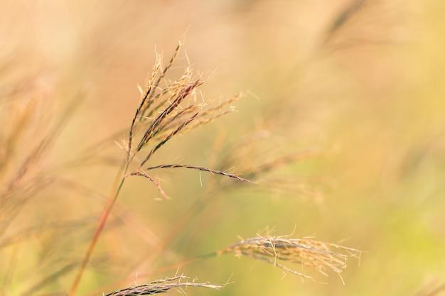 Het droge gras neigt in de zomer door de wind.
