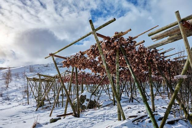 Het drogen van stokvis kabeljauwhoofden in een vissersdorp in noorwegen