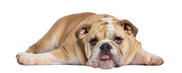 Het engelse puppy van de buldog uitgeput liggen, geïsoleerd