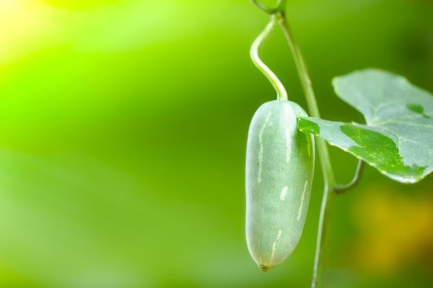 Het fruit van de klimoppompoen of coccinia grandis op de boom in onduidelijk beeldachtergrond en ochtendzonlicht bij de landbouwgrond.