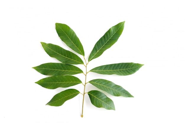 Het fruitbladeren van longan die op witte achtergrond worden geplaatst
