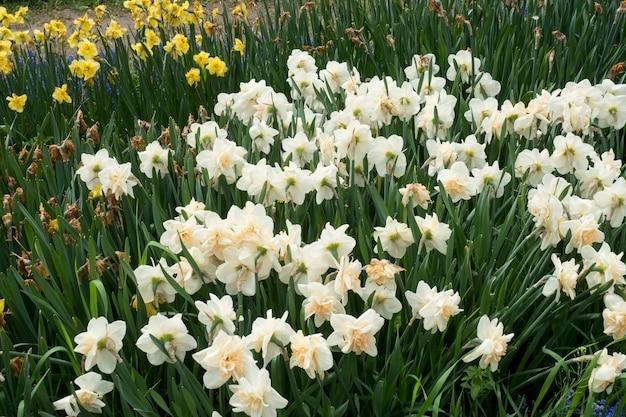 Het gebied met witte gele narcissen springt bloemen, zachte nadruk op