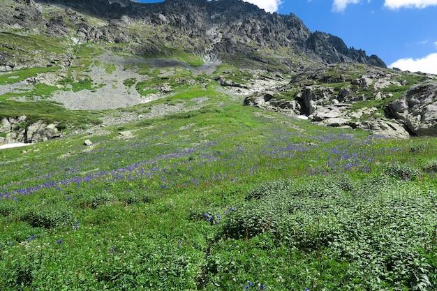 Het gebied van aquilegia bloeit op de achtergrond