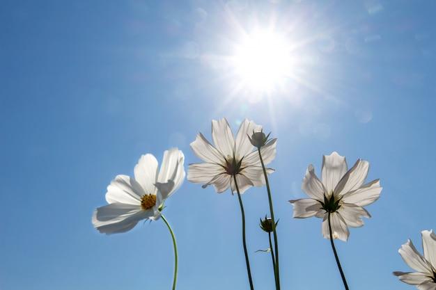 Het gebied van de kosmosbloem met blauwe hemel, het gebieds bloeiende lente van de kosmosbloem bloeit seizoen