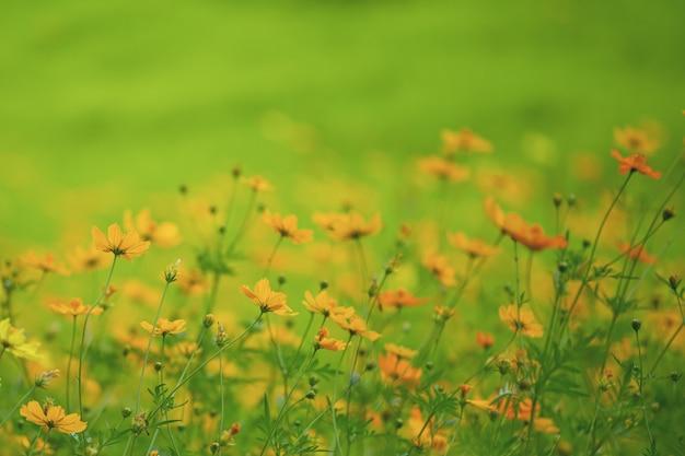 Het gele gebied van de kosmosbloem in aard