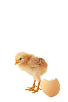 Het gele kleine kuiken met ei dat op een witte achtergrond wordt geïsoleerd