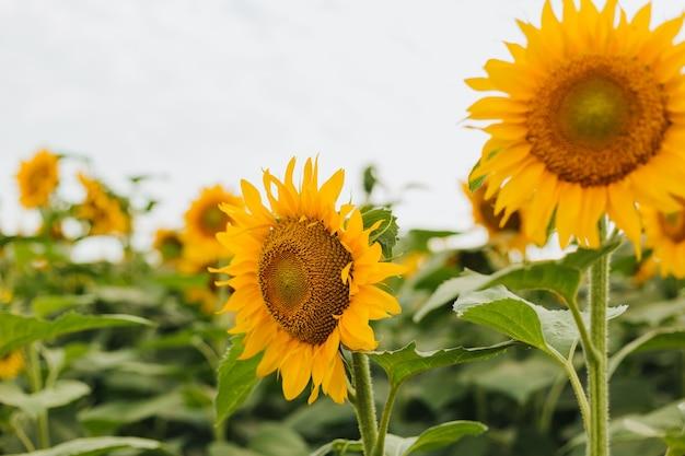 Het gele landelijke landschap van het zonnebloemgebied. oogsttijd landbouw landbouw olieproductie. gezonde oliën