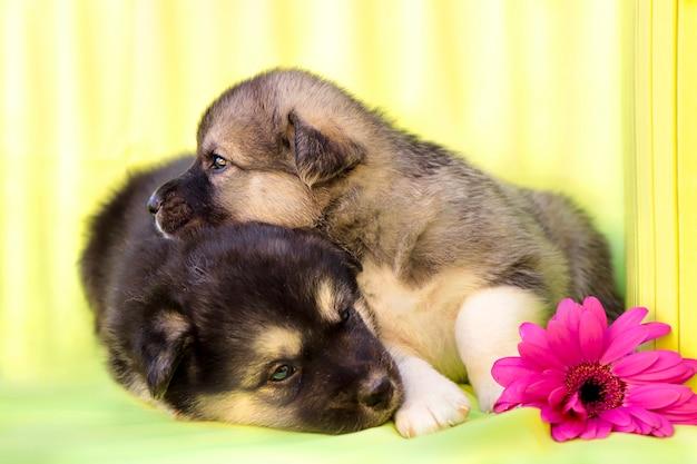Het gezelschap van pasgeboren puppy's op een lichtgroene achtergrond met een decoratieve doos en een veelkleurige gerbera.