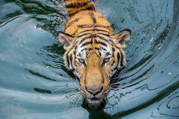 Het gezicht van aziatische tijger zwom in het meerwater.