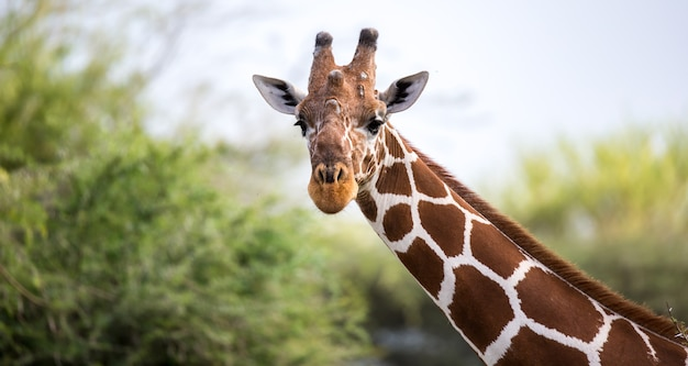 Het gezicht van een giraf in close-up
