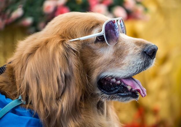 Het gezicht van een gouden hond die een bril draagt.