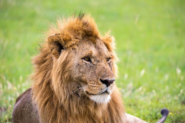Het gezicht van een grote leeuw in close-up