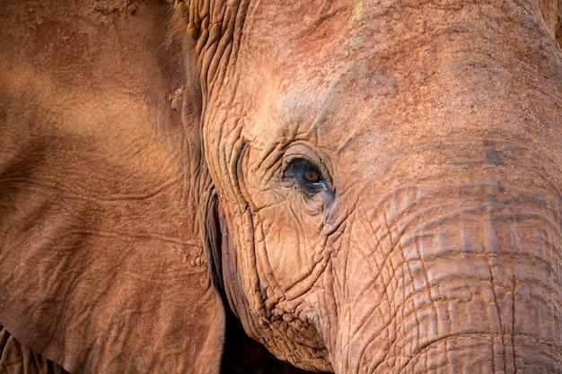 Het gezicht van een grote rode olifant