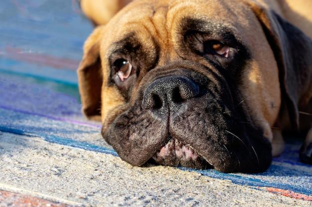 Het gezicht van een trieste eenzame hond, focus op de neus.