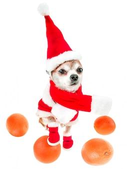 Het glimlachen van hondchihuahua in het kostuum van de kerstman met sinaasappelen die op wit worden geïsoleerd.