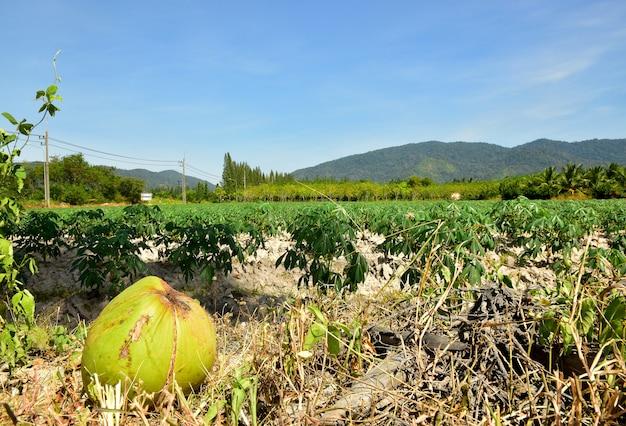 Het gloeien van de aanplanting van de maniok en de blauwe hemelachtergrond