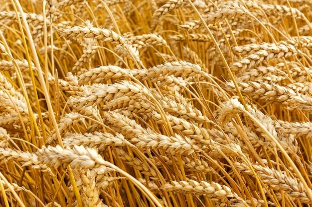 Het gouden tarwe groeien op gebied tijdens de zomer