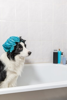 Het grappige binnenportret van de border collie van de puppyhond die in bad zit, krijgt een bubbelbad met een douchemuts. schattige kleine hond in badkuip klaar om te wassen in de badkamer. spa-behandelingen in het concept van de trimsalon.