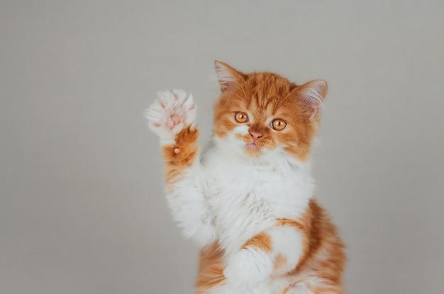 Het grappige gember pluizige katje hief zijn poot op