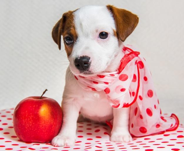 Het grappige vrouwelijke de hondpuppy van jack russell terrier met de sjaal van de stippenzijde is met rode appel.
