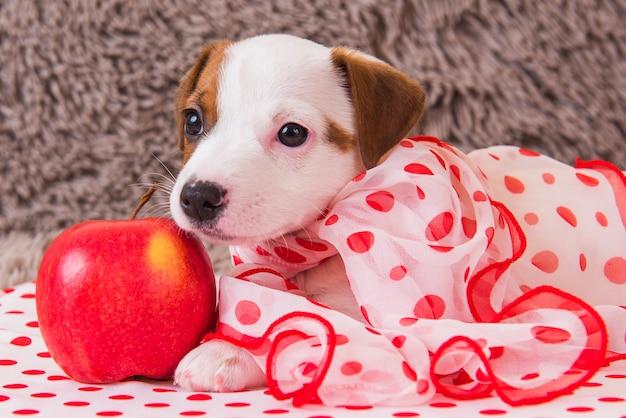 Het grappige vrouwelijke de hondpuppy van jack russell terrier met de sjaal van de stippenzijde ligt met rode appel.