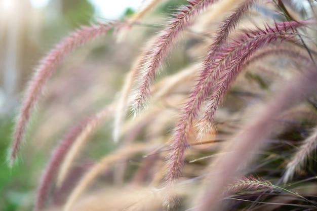 Het gras van de eekhoornstaart het groeien in tuin