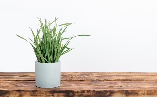 Het gras van de kamerplantkat in concrete bloempot bij de houten lijst met de witte muurmuur. minimalistisch decor in scandinavische stijl met kopie ruimte.