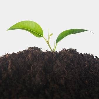 Het groeien van de zaailing in de grond die over witte achtergrond wordt geïsoleerd