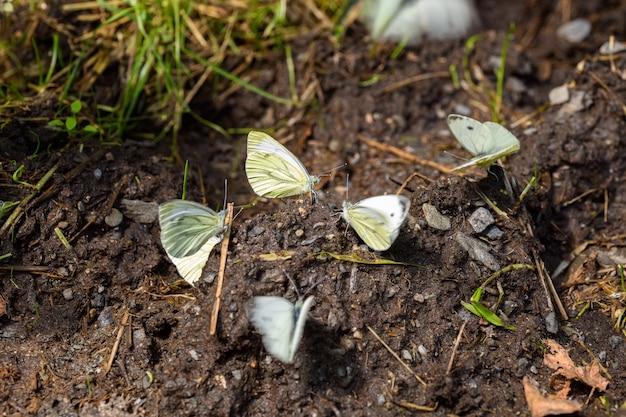 Het groen geaderde wit (pieris napi)