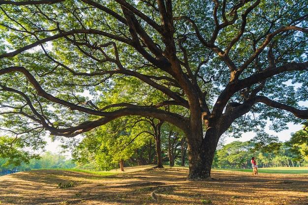Het groen laat takken van grote regenboom uitgestrekte dekking op droge bladeren en weide