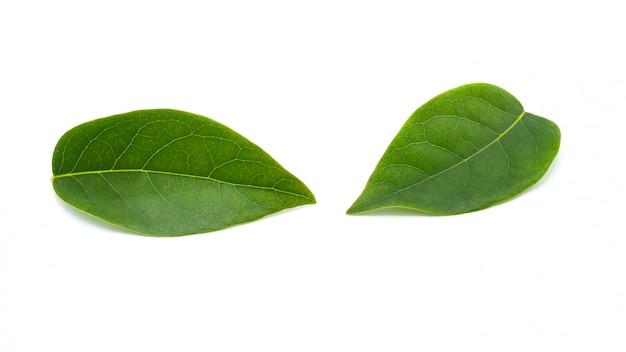 Het groene blad van de sterkruisbes dat op witte achtergrond wordt geïsoleerd