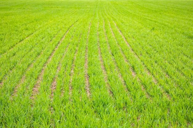 Het groene gras groeien in rijen, onlangs gezaaide landschapsachtergrond