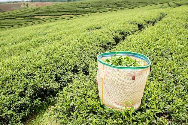 Het groene landschap van de theeaanplanting in thailand