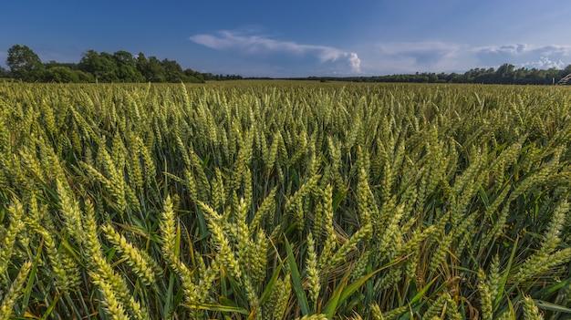 Het groene landschap van het tarwegebied