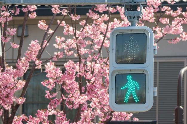 Het groene verkeerslicht met volledige bloeiende japanse sakura-kers komt bloemen tot bloei
