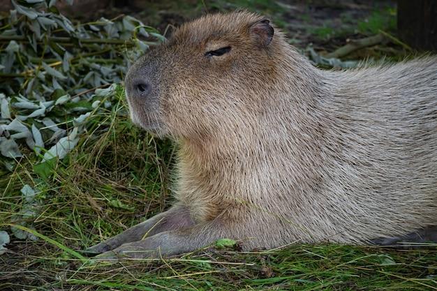 Het grootste knaagdier, de capibara, ligt op het groene gras. de capibara loenst tegen de zon. kom tot rust. close-up portret van een dier.