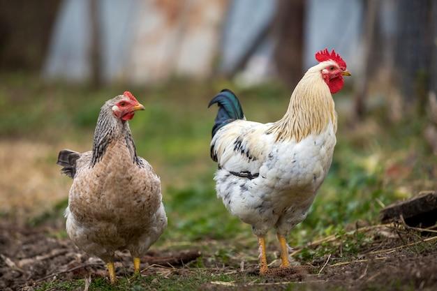 Het grote aardige mooie witte en zwarte haan en kip voeden in openlucht op heldere zonnige dag op vage landelijk. farming van pluimvee, kippenvlees en eieren.