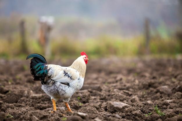 Het grote aardige mooie witte en zwarte haan voeden in openlucht in geploegde weide op heldere zonnige dag op vage kleurrijke landelijke achtergrond. landbouw van gevogelte, kippenvlees en eierenconcept.