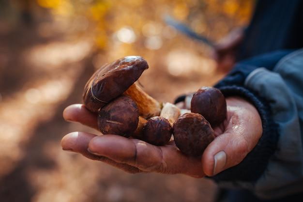 Het handvol van de mens holdings poolse paddestoelen in de herfstbos. paddestoelen verzamelen