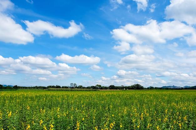 Het hennepgebied van sunn met bewolkte hemel bij de provincie van nakhon ratchasima, thailand.