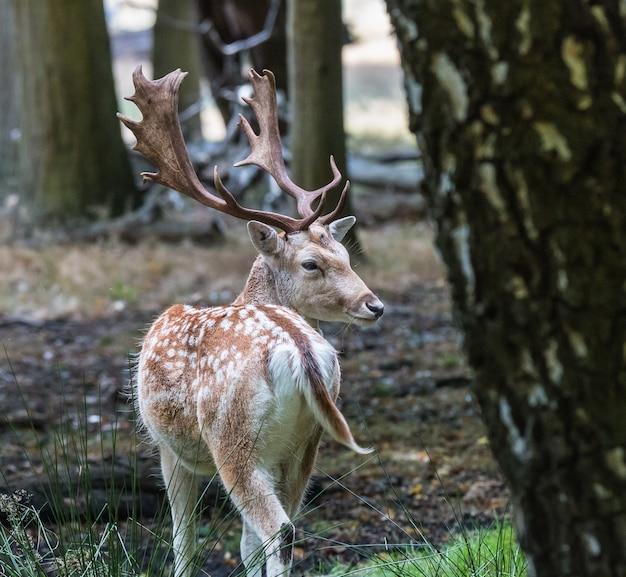 Het hert van richmond park, tijdens de hitte, is een spektakel dat het bekijken waard is