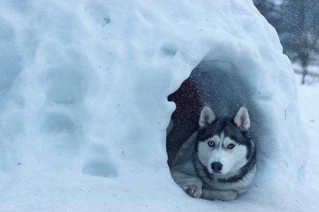 Het hondenras husky ligt bij de ingang van het besneeuwde huis, iglo genaamd onder de eskimo's, het is zware sneeuwval.