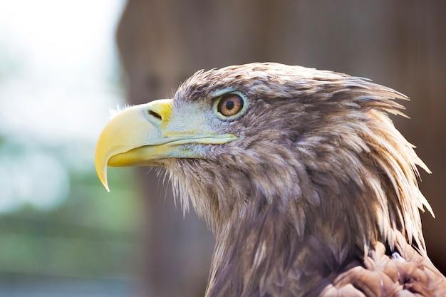 Het hoofd van de adelaar is in profiel in fel zonlicht
