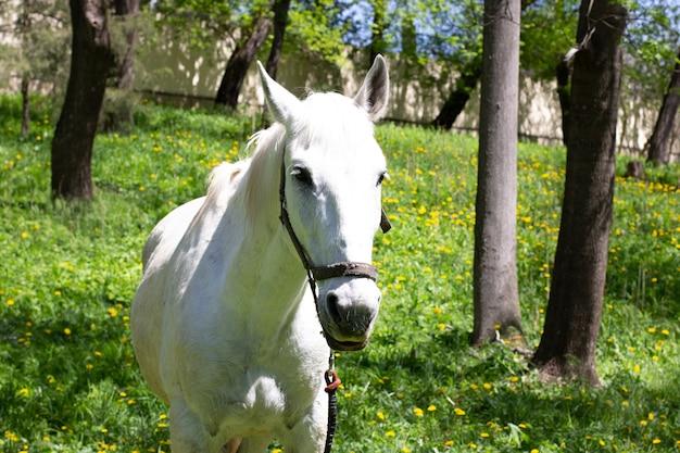 Het hoofd van een droevig wit paard tegen een oppervlakte van de lentepark