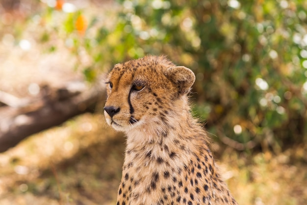 Het hoofd van een grote cheetah masai mara kenya